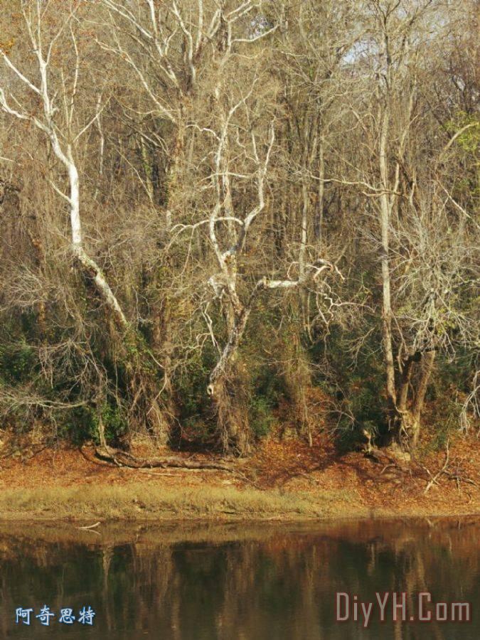 光秃秃的梧桐树沿着开普菲尔河装饰画