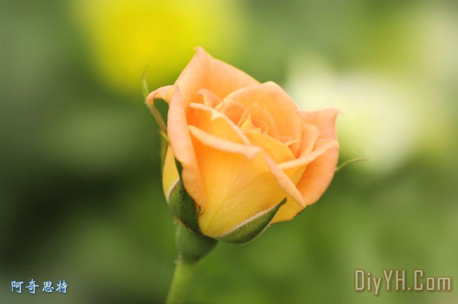 只是一朵玫瑰装饰画 花卉 美人 弗洛拉 只是一朵玫瑰油画定制 阿奇思特图片