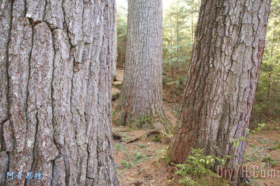 巨型白松树 - 白山新罕布什尔州装饰画