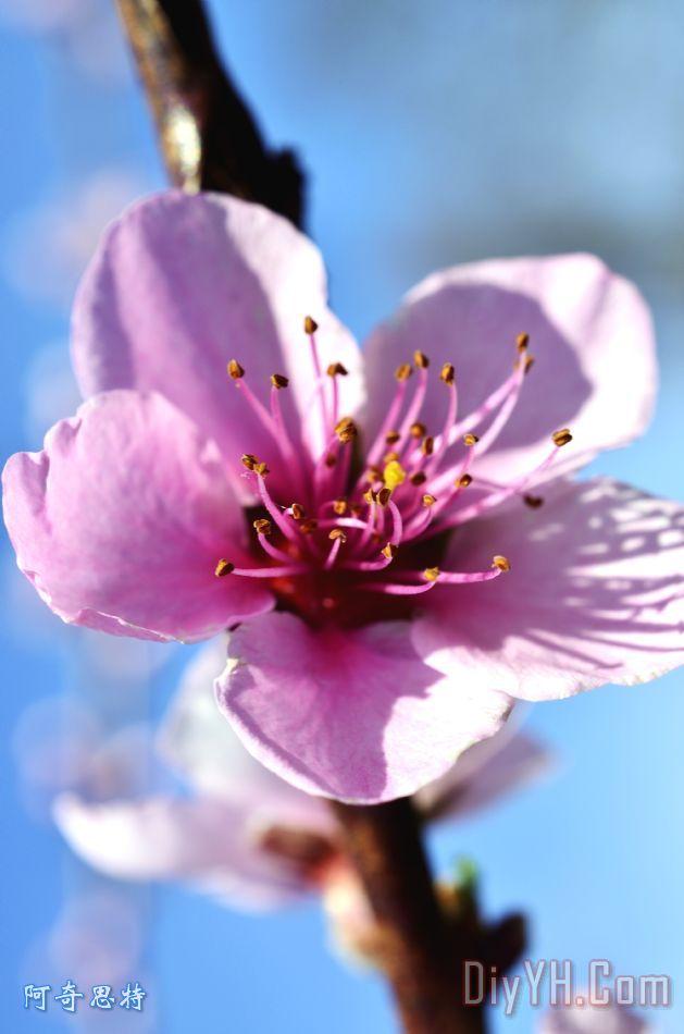 桃花树开花装饰画