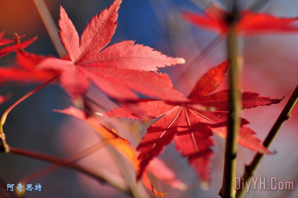 秋天的枫叶装饰画