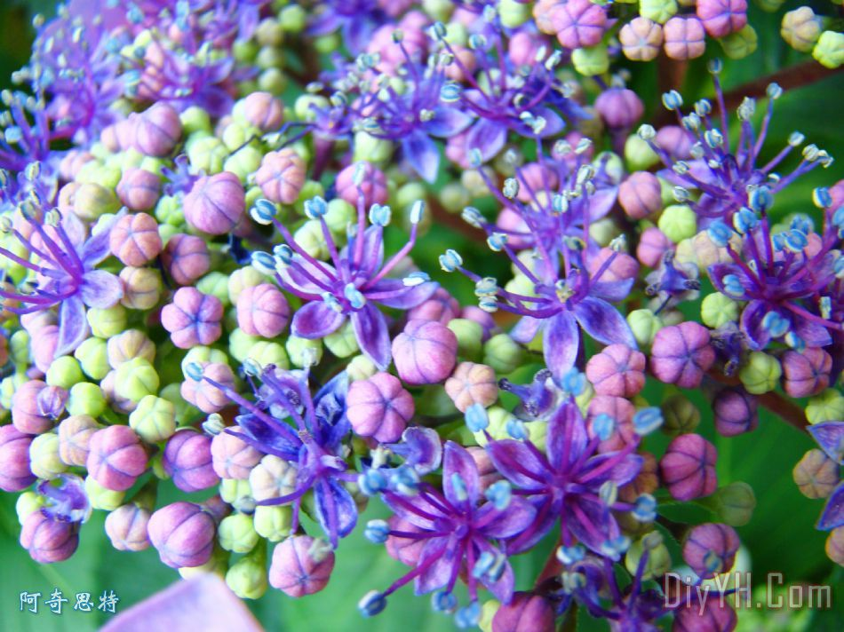 蓝紫色绣球花宏艺术油画
