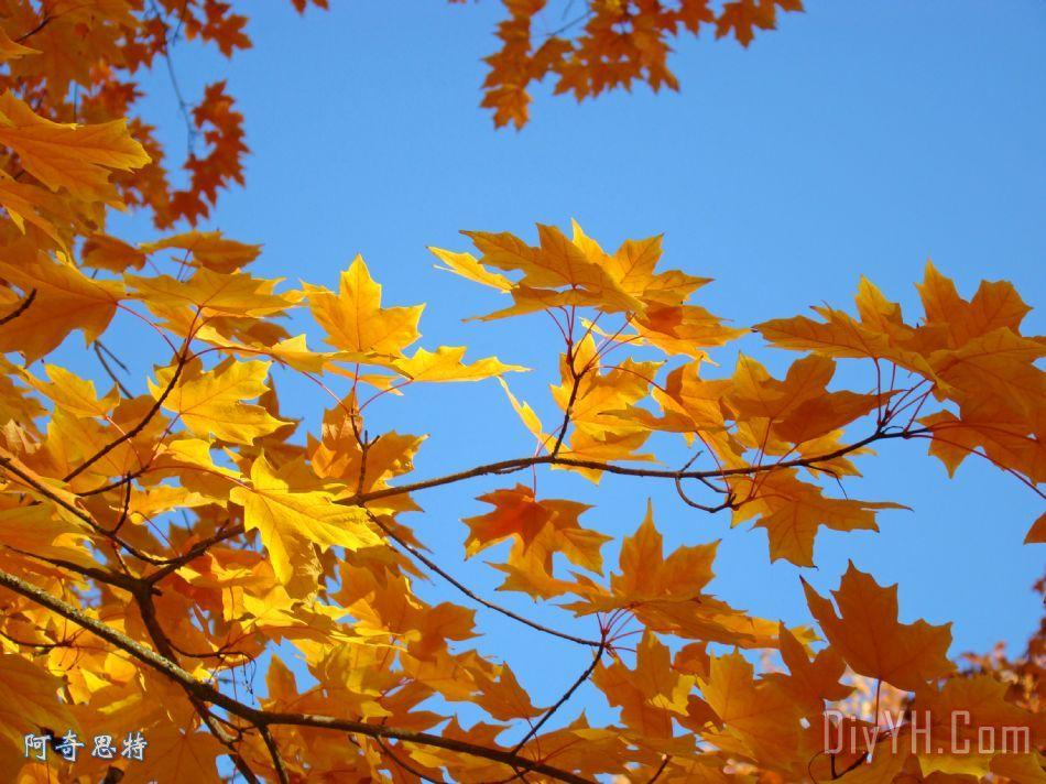 金黄闪光黄色橙色秋天树叶baslee特劳特曼装饰画