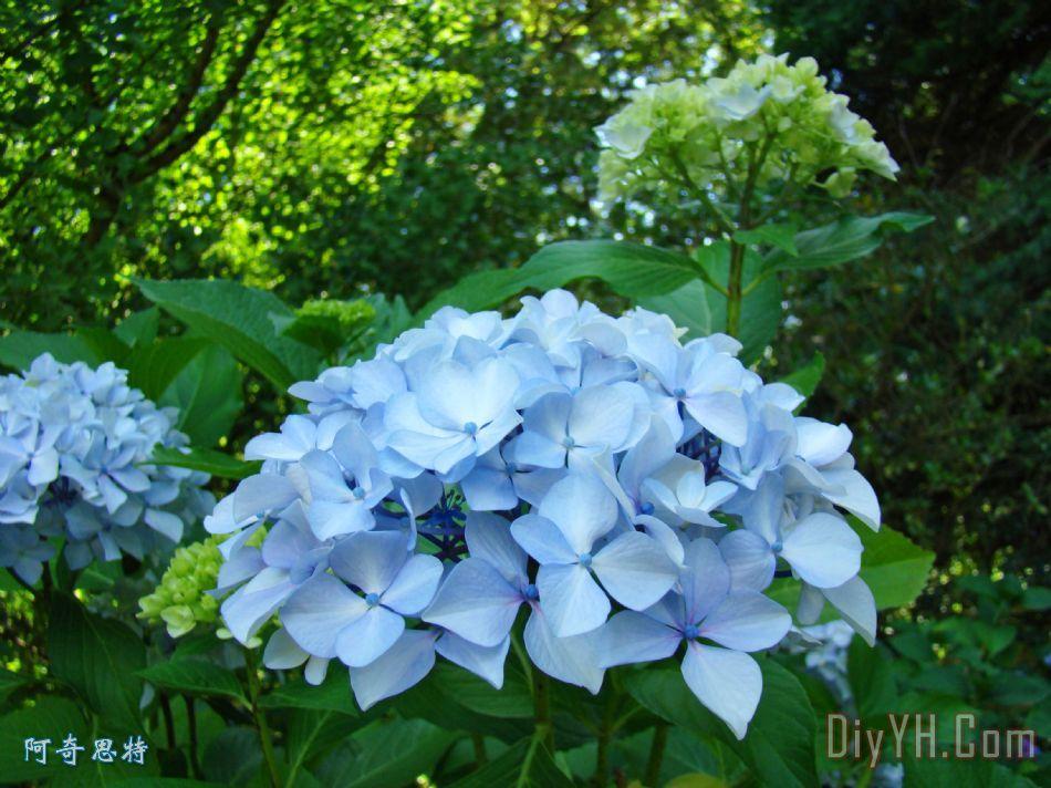 绣球园林美术印刷花蓝绿色装饰画