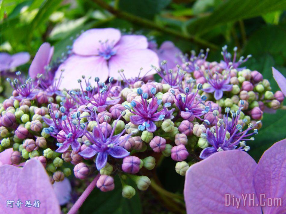自然插花艺术版画紫色绣球花baslee特劳特曼装饰画