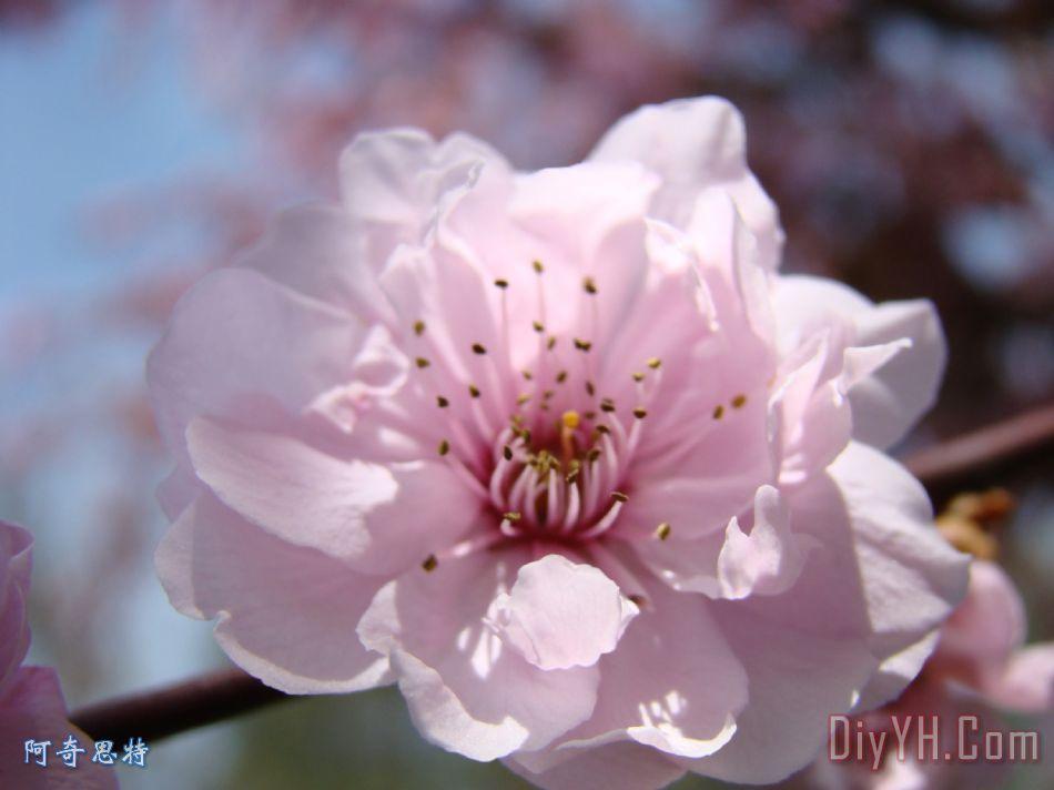 粉红色的花自然艺术版画34树开花春天大自然艺术装饰画