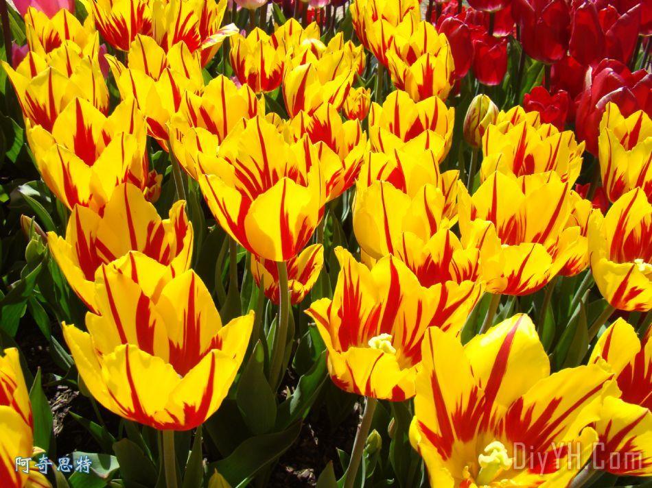 郁金香花节黄色红色版画艺术的郁金香装饰画